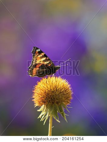 l butterfly collects nectar from an orange flower ball solar on a summer day