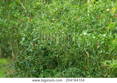 View of fresh chili peppers on tree at an organic chili farm.