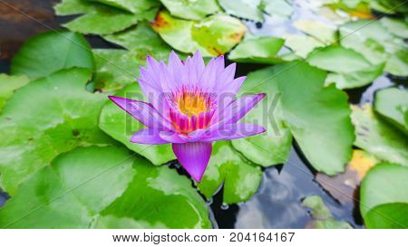 The purple lotus on the green leaf background in the pond