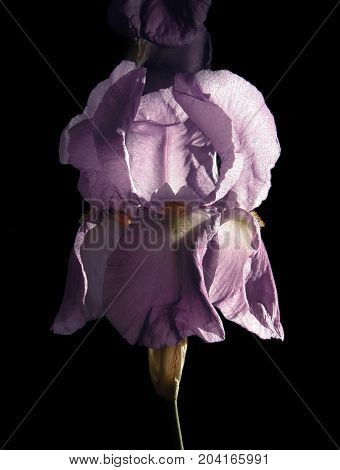 royal purple iris with dramatic lighting, on a black background