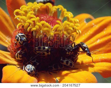 Diversos besouros em uma flor laranja e vermelha
