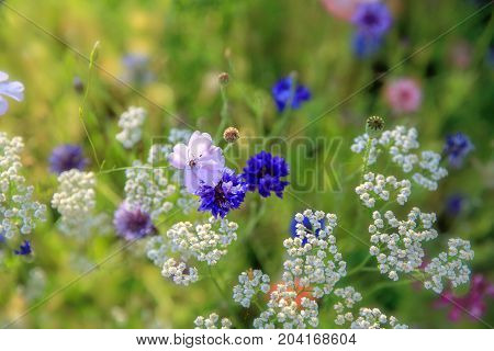 Beautiful meadow field with wild flowers cornflowers, poppy, yarrow. Spring or summer wildflowers closeup. Health care concept. Rural field. Alternative medicine. Environment