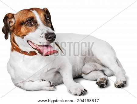 Dog mammal terrier jack russell resting relaxed domestic animal
