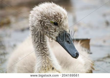 A mute swan cygnets at just one month old
