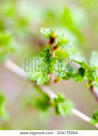 blooming redcurrant. Blooming currant. Future sowing.shallow DOF