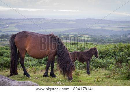 Wild mare and her foal on a Summers evening on Dartmoor.