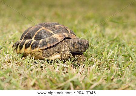 Testudo Hermanni Mediterranean Turtle Walked On Earth