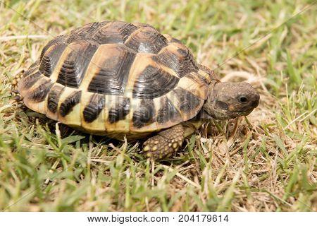 Testudo Hermanni Typical Mediterranean Turtle Walked On Earth