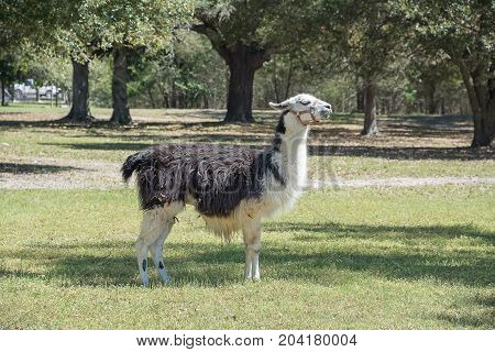 The alpaca or Vicugna pacos is a very small camel. There are two breeds of alpaca. They are the suri alpaca and the huacaya alpaca. They are native to the mountains of South America. They are bred for their wool which is used as a textile in crafts such a