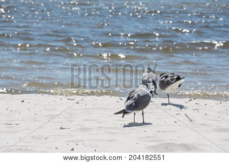 Seagulls standing on a white sand beach.
