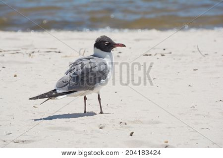 A sea gull on the Mississippi gulf coast.