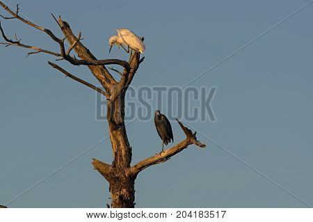 Great egret and little blue heron perched on a dead tree in the golden sun at dusk. Great egret is widely distributed in the US.  Little blue heron, a small heron, breeds in the Gulf States of the US.