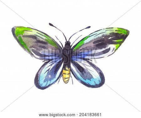 Ornithoptera alexandrae watercolor butterfly isolated on white