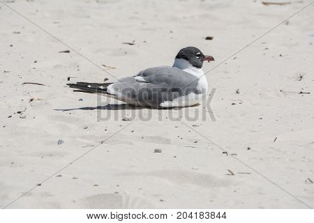 A seagull nesting on a Gulf of Mexico beach.