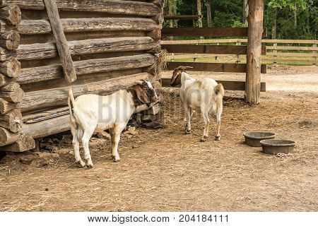 Two nanny goats waiting at the barn to be fed.