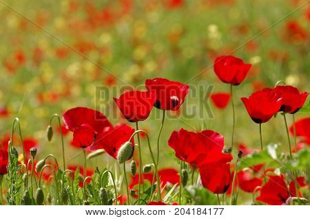 Field of red poppy flowers. Springtime nature background.