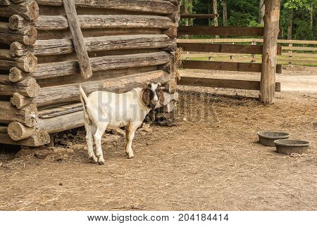 Nanny goat waiting at the barn to be fed.