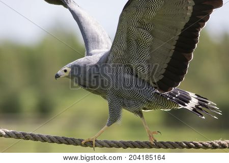 Amazing animal. African harrier hawk (Polyboroides typus) bird of prey balancing on rope