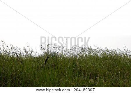 Green grass plants vegetation nature on white background.