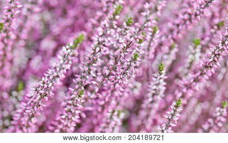 Violet Heather flowers field Calluna vulgaris. Small pink lilac petal plants, soft background. shallow depth of field