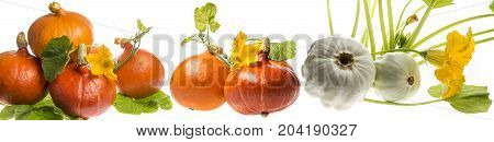 pattypan and pumpkins plant isolated on a white background