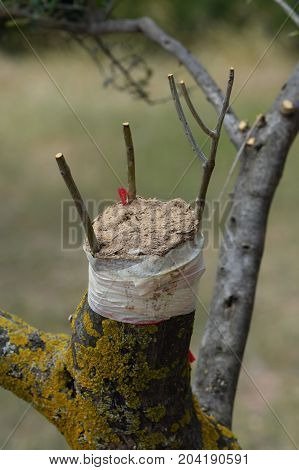 Cleft grafting twigs on olive tree branch. Agricultural technique.