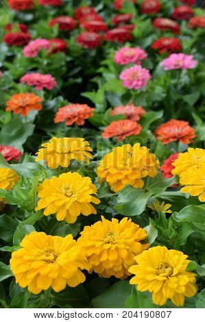 Colorful zinnia flowers in bloom. Springtime background.