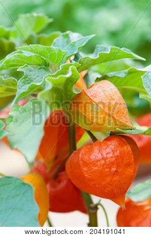 Orange physalis exotic fruit nightshade family Solanaceae subtropical plant close-up photo. Selective focus.