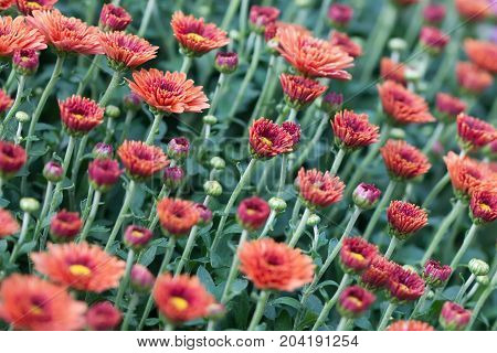 Field red chrysanthemums floral background. Many colorful mums flowers close-up photo. Selective focus.