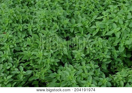 Basil leaves herbal culinary plant natural background.