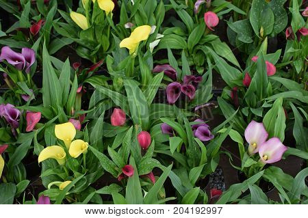 Zantedeschia calla lily flowers in bloom. Colorful nature background.