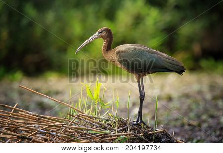 Glossy ibis in Danube Delta. The glossy ibis is a wading bird in the ibis family Threskiornithidae. The scientific name derives from Ancient Greek plegados and Latin falcis both meaning sickle and referring to the distinctive shape of the bill