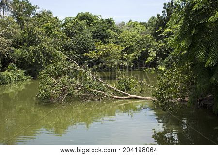 Big Tree Broken Fall Down  In Lake Of Sri Nakhon Khuean Khan Park And Botanical Garden Or Khung Bang