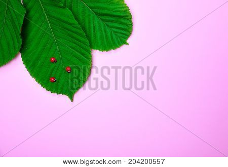 green leaves of chestnut with decorative ladybirds on a pink background empty space on the right