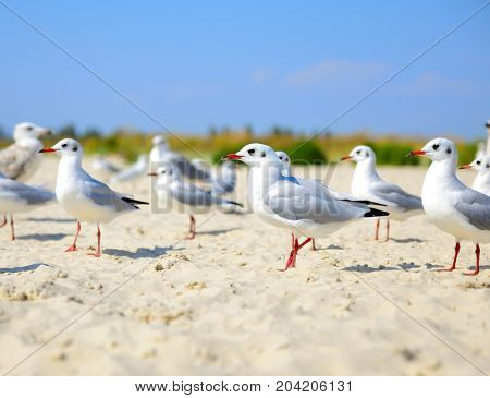 flock of white gulls walks along the sandy seashore on a summer day