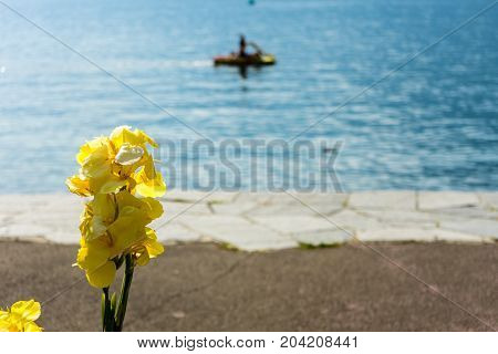 yellow flower in front of lake with boat sailing and water reflections ascona lago maggiore