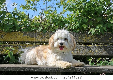 Beautiful Havanese Is Lying On A Wooden Bench In The Sunshine