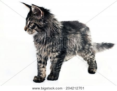 Fluffy kitten Maine Coon on a white background. Brushes on the ears and Fluffy tail. A cute little kitty is standing and looking.