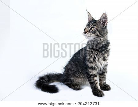 Fluffy kitten Maine Coon on a white background. Brushes on the ears and Fluffy tail. A cute little kitten is sitting and looking up.