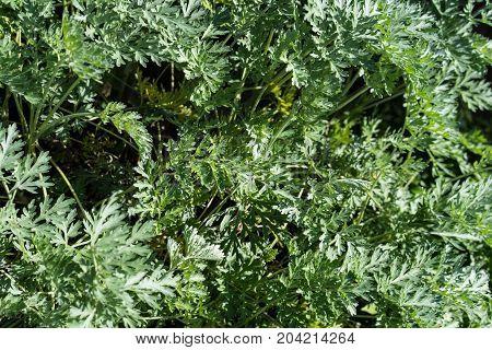 artemisia absinthium wormwood herbal plant flower leaf close up