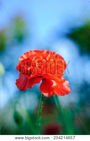 Blooming red poppy, on a blurred background