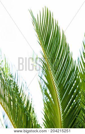 cycas revoluta palm tree cycadaceae from southeast asia japan revolut