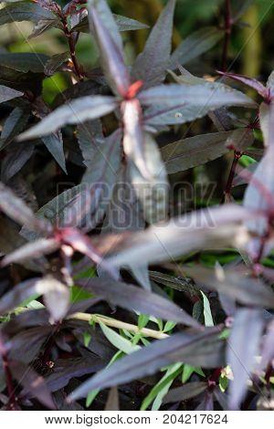 violet leaf of mukunu wenna alternanthera plant medicinal flower