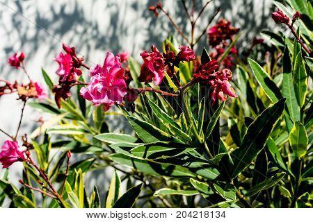 Nerium oleander Apocynaceae pink flower plant close up leaf bot dogbane family