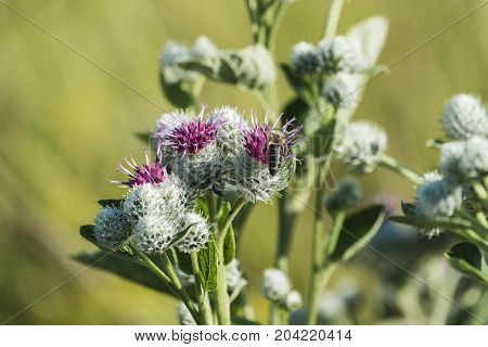 Medicinal herbs: Lilac-purple woolly burdock flowers (Arctium tomentosum)