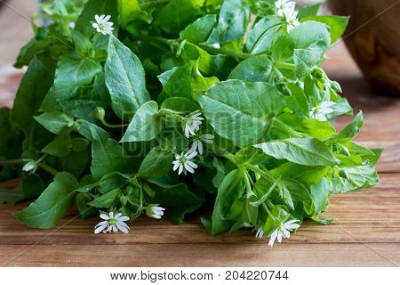 Fresh chickweed plant on a wooden table