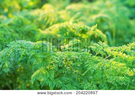 Close up green leaves of cow Parsley or Anthriscus sylvestris in warm sunset light