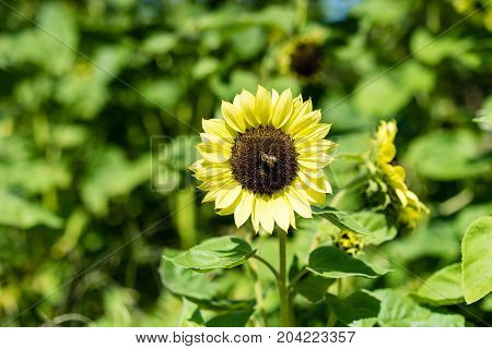 sunflower and bee in sunflower field with plants and leaves