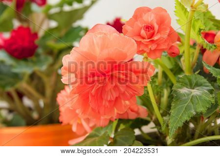 Tender Fresh Red Begonia  Terry Flowers And Petals  Bush In A Tub On A Light Wooden Table Top
