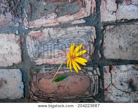 yellow sunflower on dark cracked brick walkway
